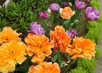 190628_tulip7.jpg