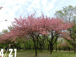190704_yaezakura01.jpg