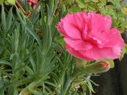 191105_carnation1.jpg
