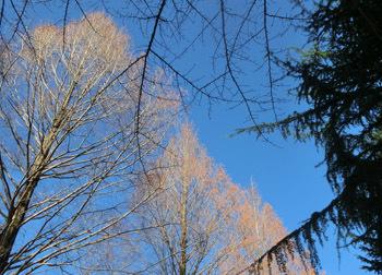 200204_metasequoia1.jpg