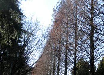 200206_metasequoia.jpg