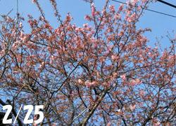 200322_ume_kawadu1.jpg