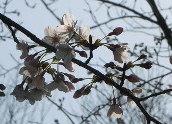 200430_sakura11.jpg