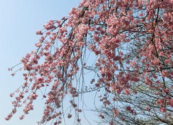 200430_sakura3.jpg