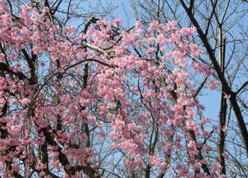 200430_sakura5.jpg