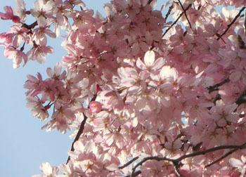 200430_sakura6.jpg