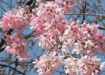 200430_sakura7.jpg