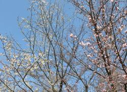 200430_sakura8.jpg