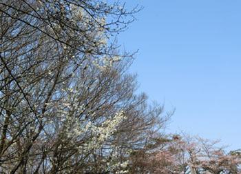 200502_saku_kobu.jpg