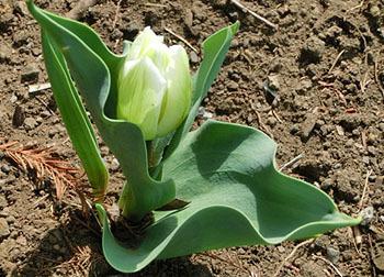 200506_tulip2.jpg
