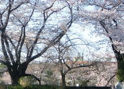 200512_sakura1.jpg