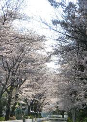 200512_sakura2.jpg