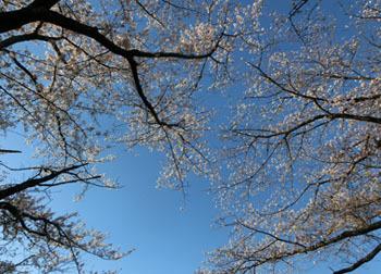 200512_sakura3.jpg