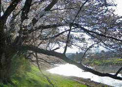 200512_sakura5.jpg