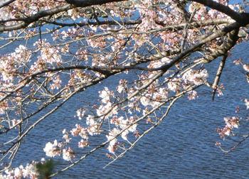200512_sakura6.jpg