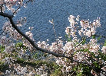 200512_sakura7.jpg