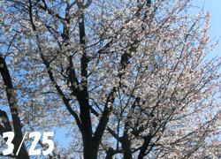 200514_sakura01.jpg