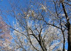 200514_sakura10.jpg