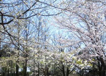 200520_sakura06.jpg