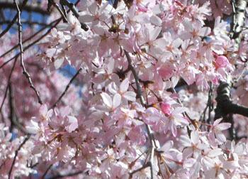 200520_sakura08.jpg