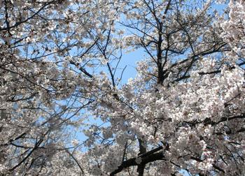 200520_sakura12.jpg