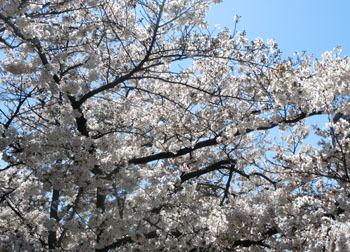 200520_sakura13.jpg