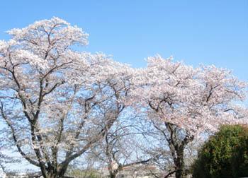 200525_sakura1.jpg