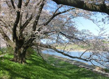 200525_sakura4.jpg