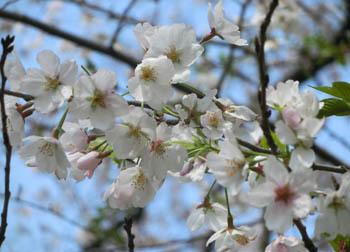 200526_sakura2.jpg