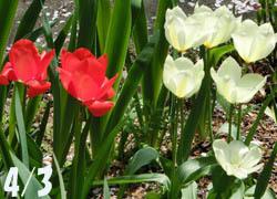 200526_tulip1.jpg