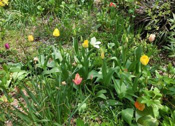 200526_tulip2.jpg
