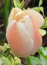 200526_tulip4.jpg