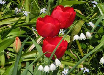 200526_tulip6.jpg