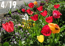 200529_tulip01.jpg