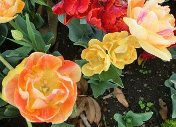 200529_tulip03.jpg