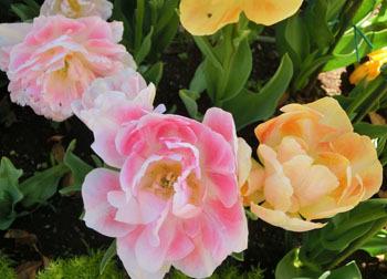 200529_tulip04.jpg