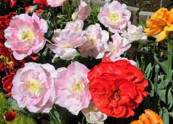 200529_tulip06.jpg