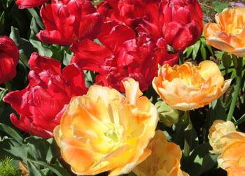 200529_tulip08.jpg
