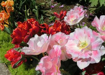 200529_tulip09.jpg