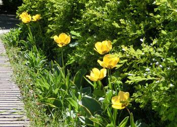 200531_tulip1.jpg