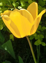 200531_tulip2.jpg