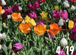 200601_tulip1.jpg