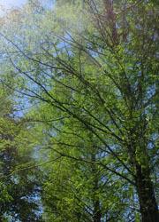 200603_metasequoia1.jpg