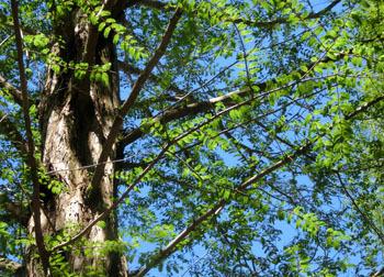 200603_metasequoia2.jpg