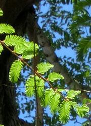 200603_metasequoia3.jpg