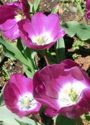 200603_tulip4.jpg