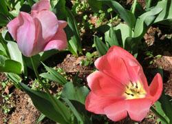 200603_tulip6.jpg
