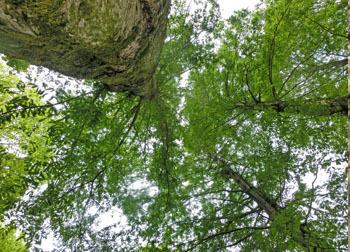 200624_metasequoia.jpg