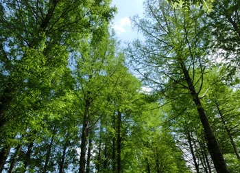 200710_metasequoia.jpg