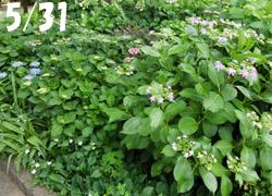 200803_ajisai1.jpg